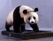 ジャイアントパンダ剥製「ランラン」